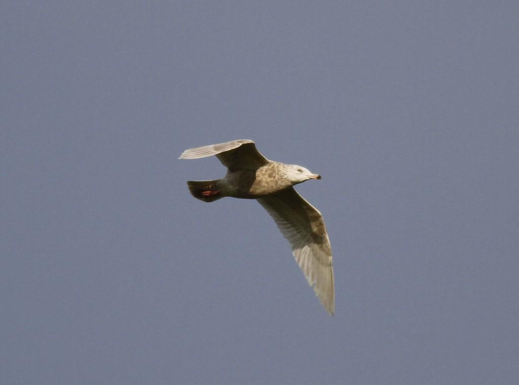 Glaucous Gull North Landing - photo John Beaumont