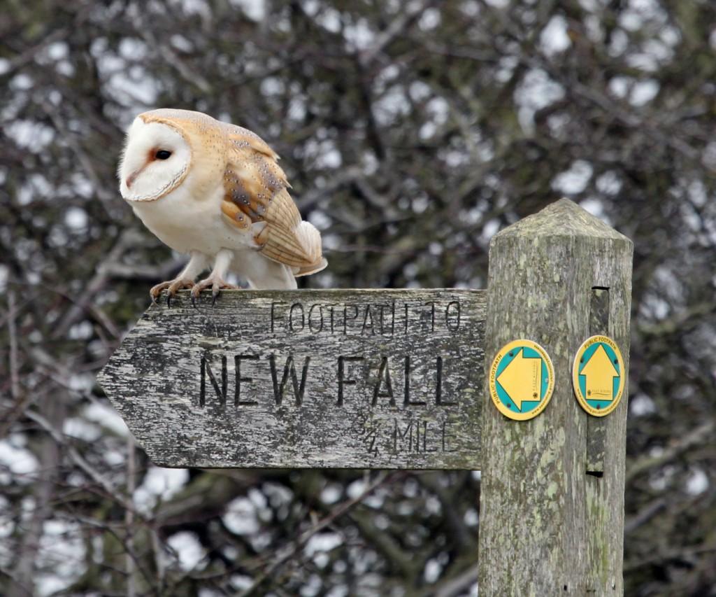 Barn Owl - Flamborough Head 2013  (photo R Baines)