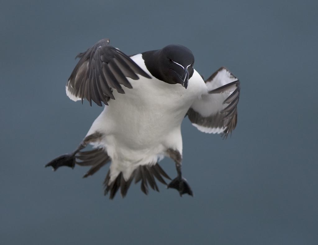 Razorbill - photo Steve Race ©