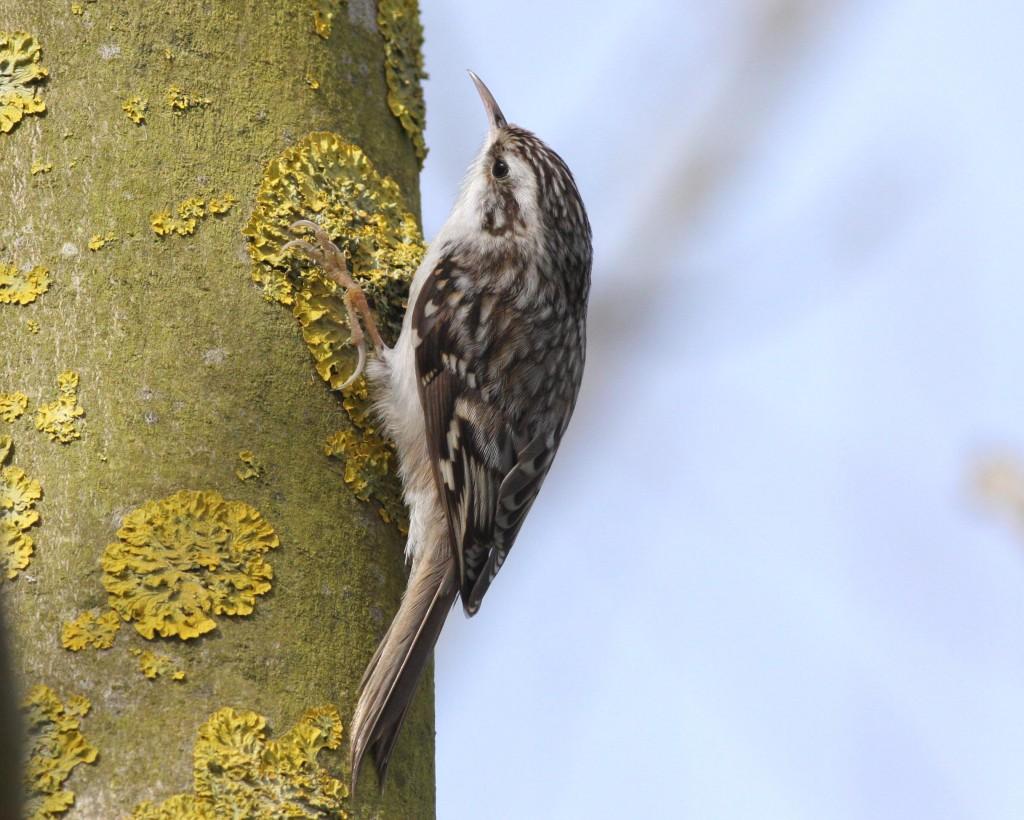Northern Treecreeper - photo Frank Moffat