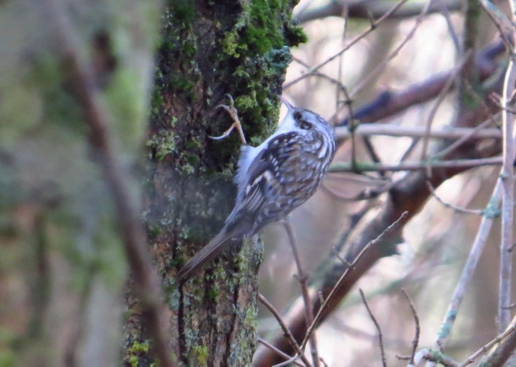 Northern Treecreeper - Whelkie Wynds (photo: Brett Richards)