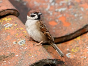 Tree Sparrow at Bempton - photo and copyright Steve Race