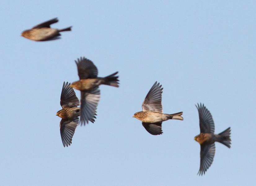 Twite at Buckton, part of flock of 42 birds.
