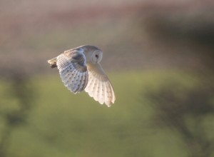 Barn Owl at Buckton - photo Paul Reed