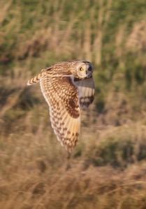 Short- eared Owl (Paul Reed)
