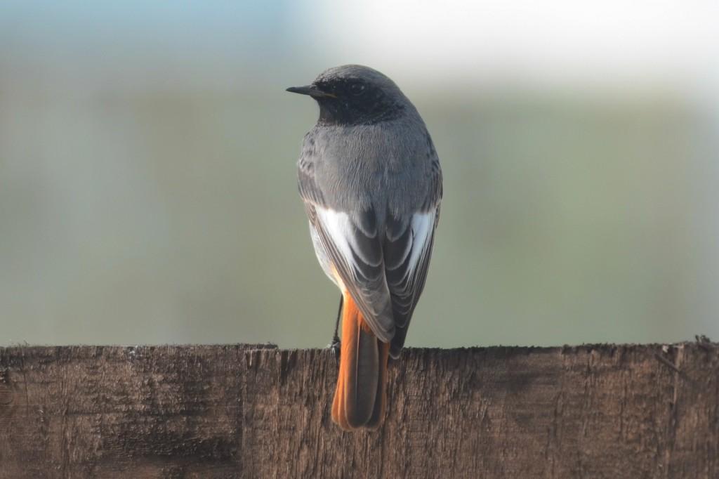 Black Redstart (A Hood)