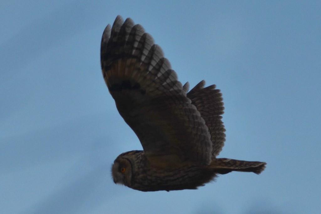 Long-eared Owl Holmes Gut (A Hood)