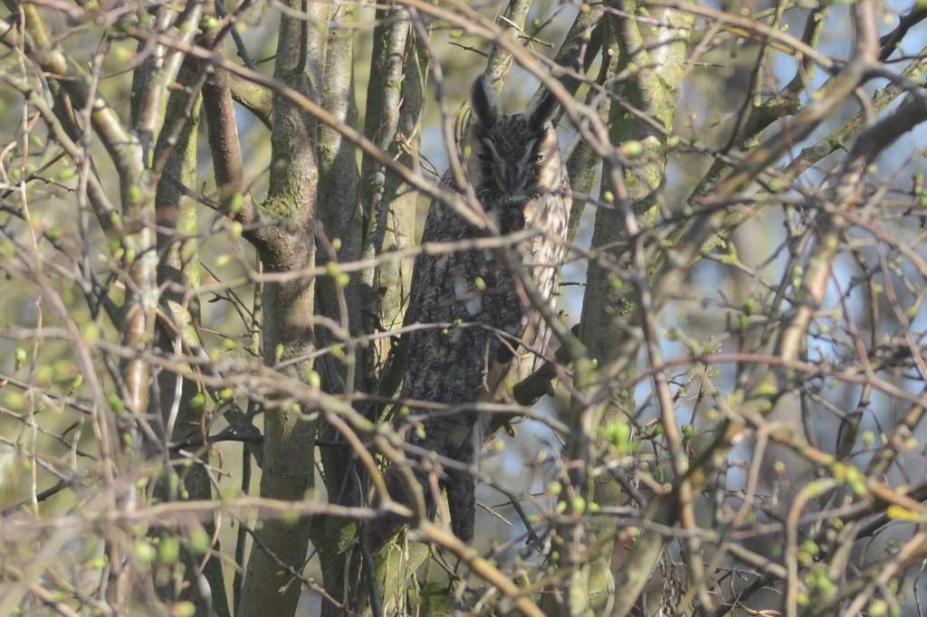 Long-eared Owl (A Hood)