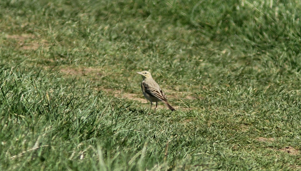 Tawny Pipit (S Routledge)