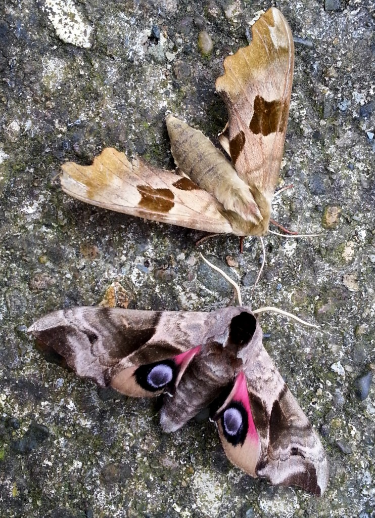 Lime Hawkmoth and Eyed Hawkmoth