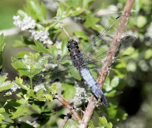 Black-tailed Skimmer by Dan Lombard