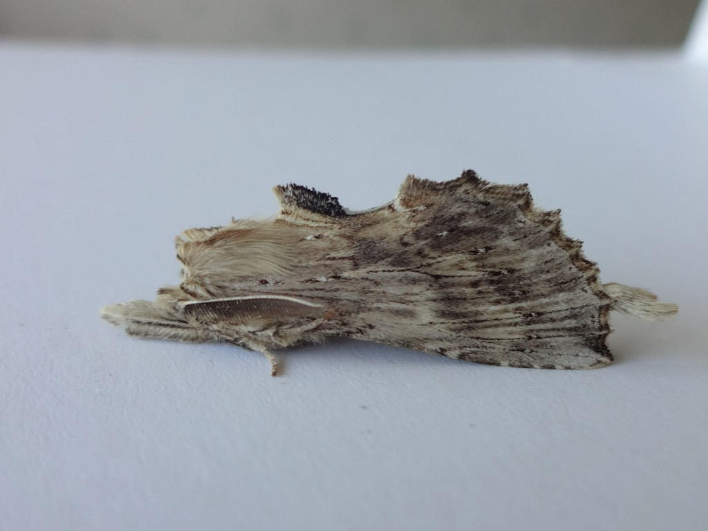 This Pale Prominent was an excellent over night catch. Andy Hoood