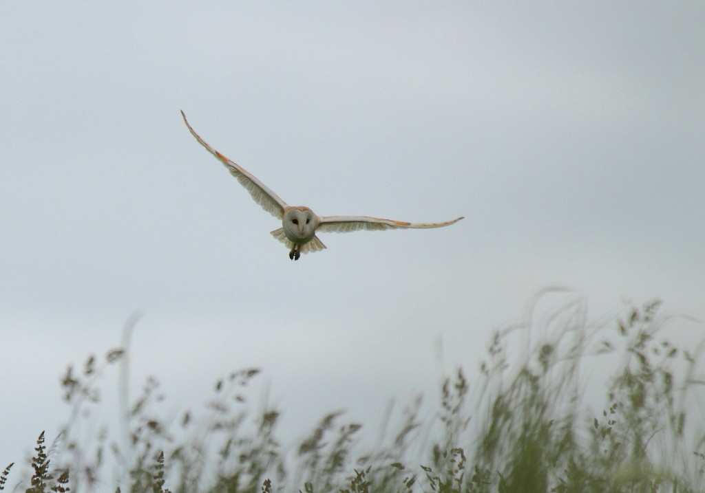 Barn Owl by Alan Walkington