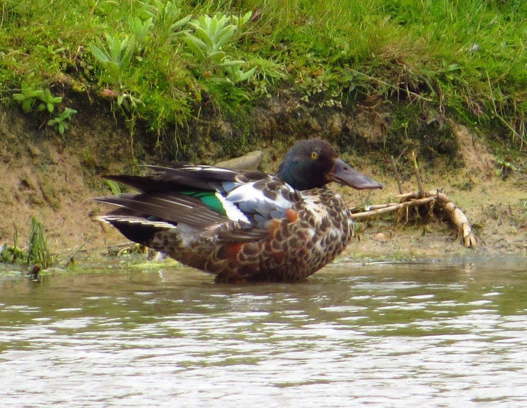 Shoveler, male, Thornwick Pool, Flambro, 5 Jun 14 (b)