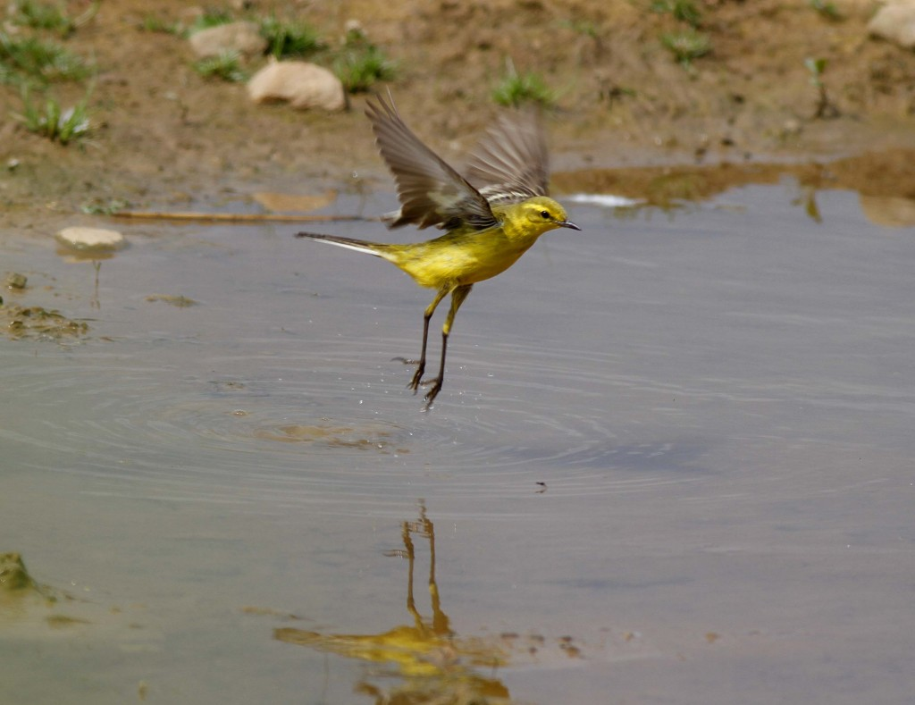 Yellow Wagtail at Thornwick Pool. John Beaumont