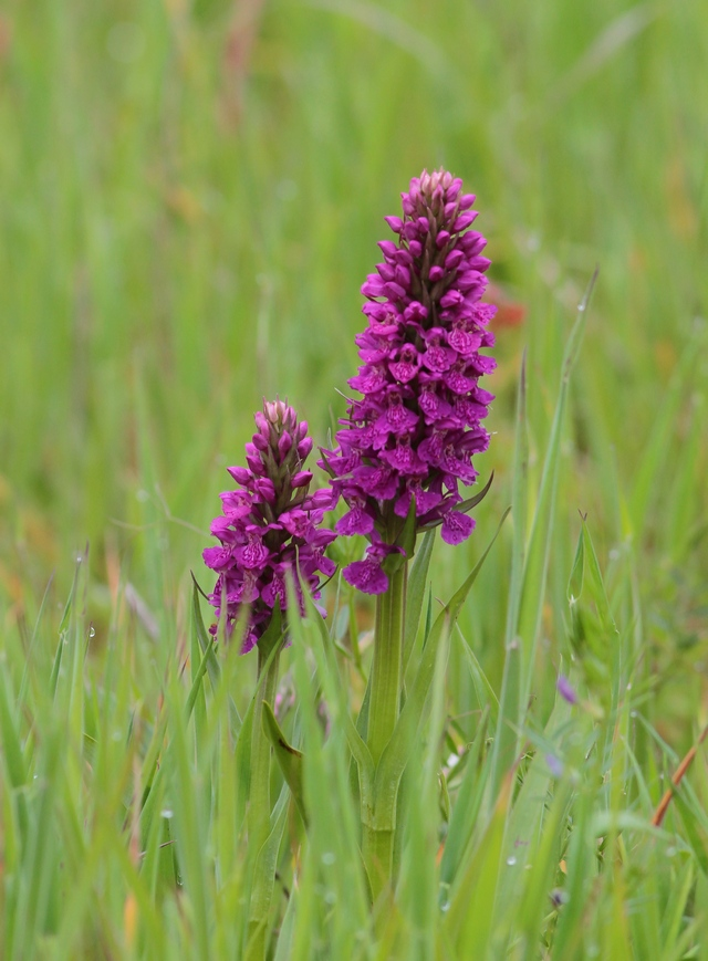 Marsh Orchid at Thornwick. Mostly Northerns though apparently some Southern/ hybrid too. Lots of spikes currently coming into flower