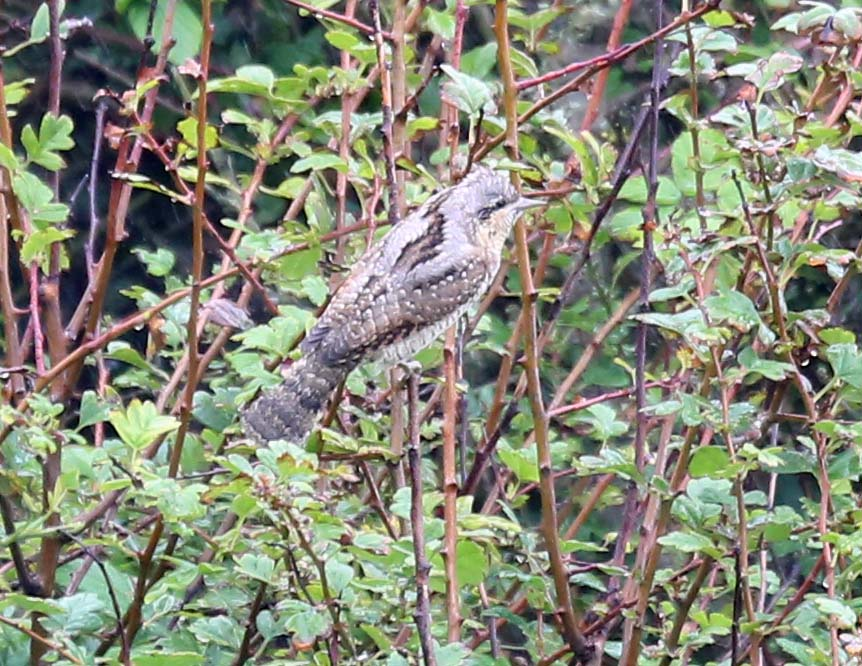 Wryneck in Selwick's Bay by Richard Baines