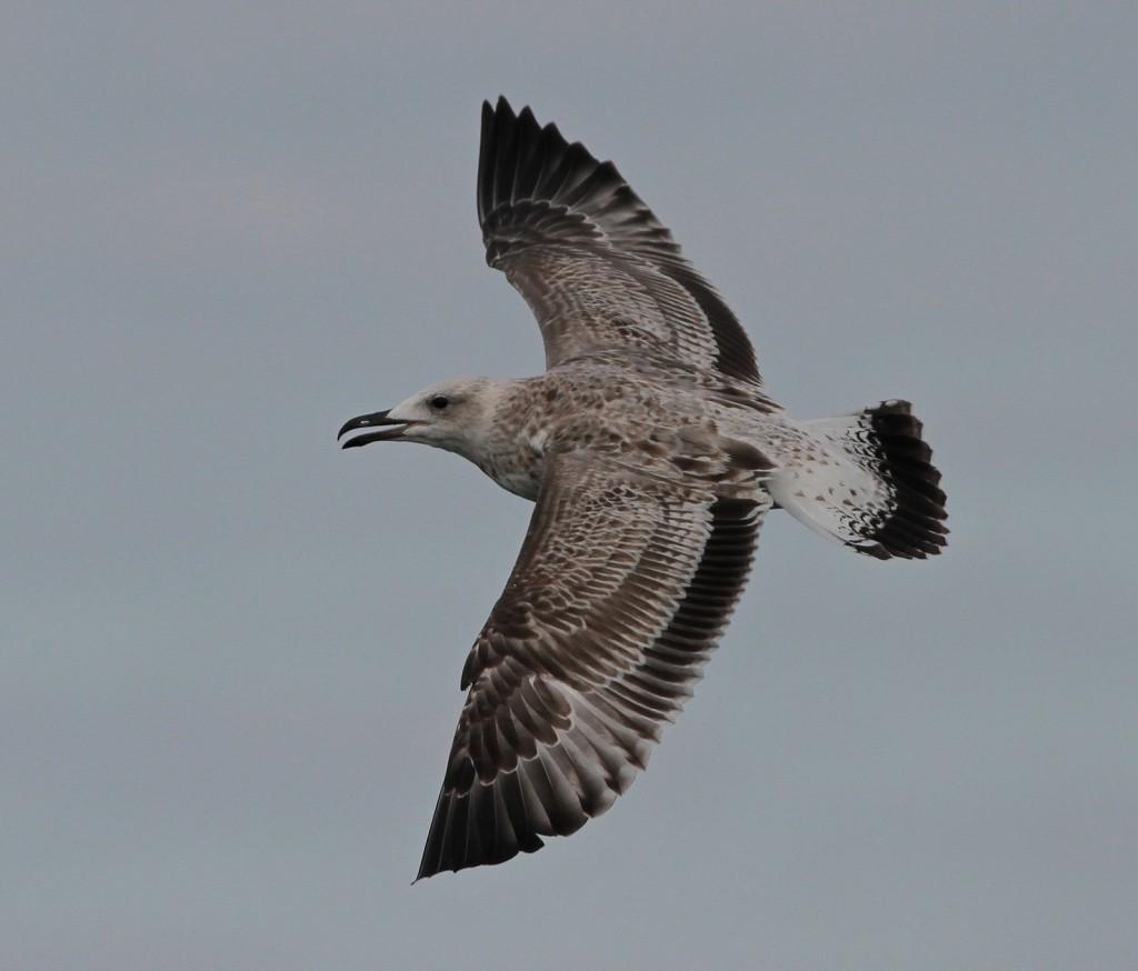 1st winter Caspian Gull from YCN pelagic, Martin Garner