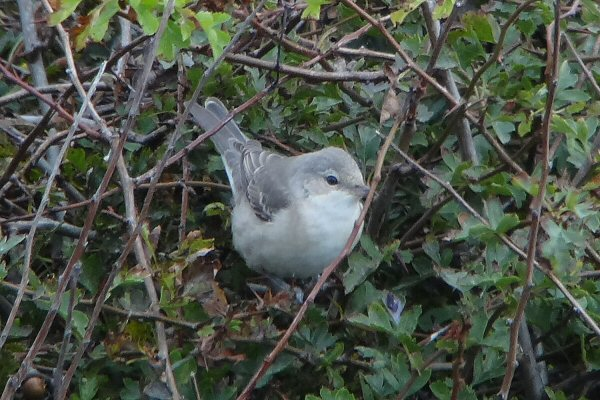 Barred Warbler in Selwick's Bay by Tony Dixon