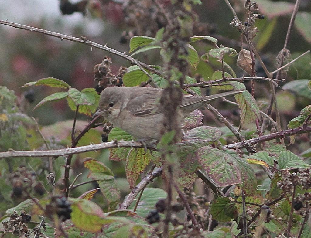 Barred Warbler, Old Fall Steps, Martin Garner
