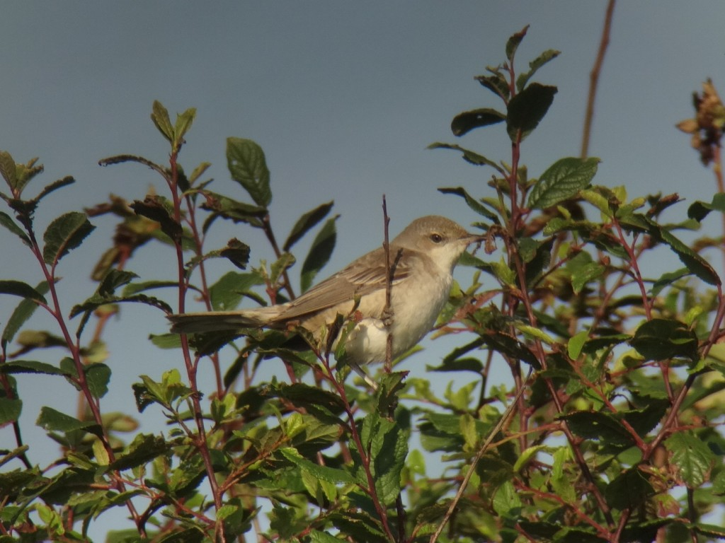 Barred Warbler, Old Fall Hedge, Andy Hood