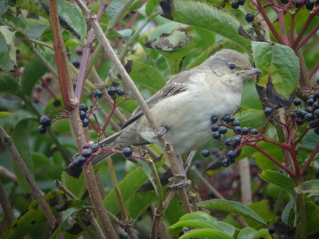 Barred Warbler, Old Fall Steps, Andy Hood