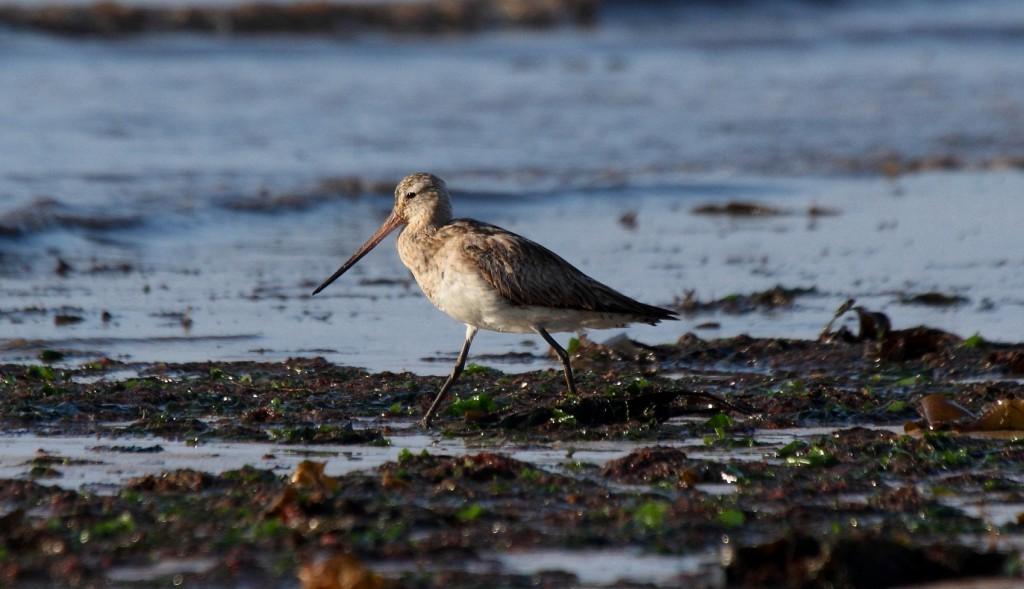 Bar-tailed Godwit, South Landing, Alan Walkington