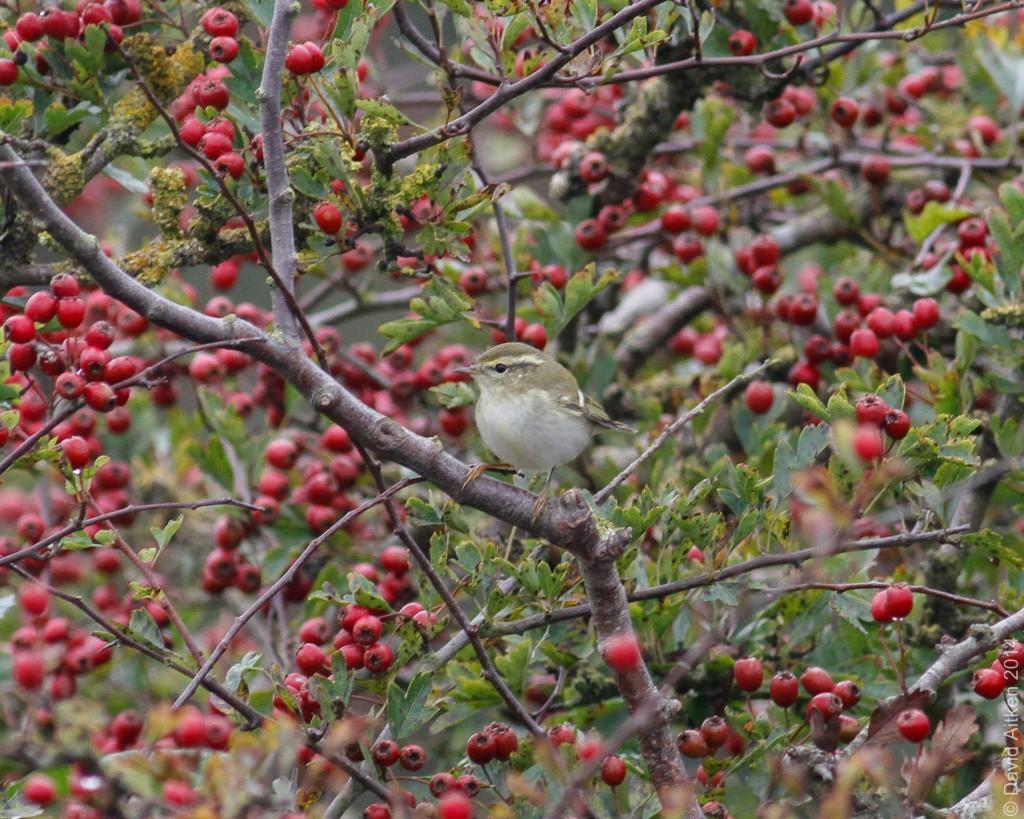 Yellow-browed Warbler, Bempton, Dave Aitken