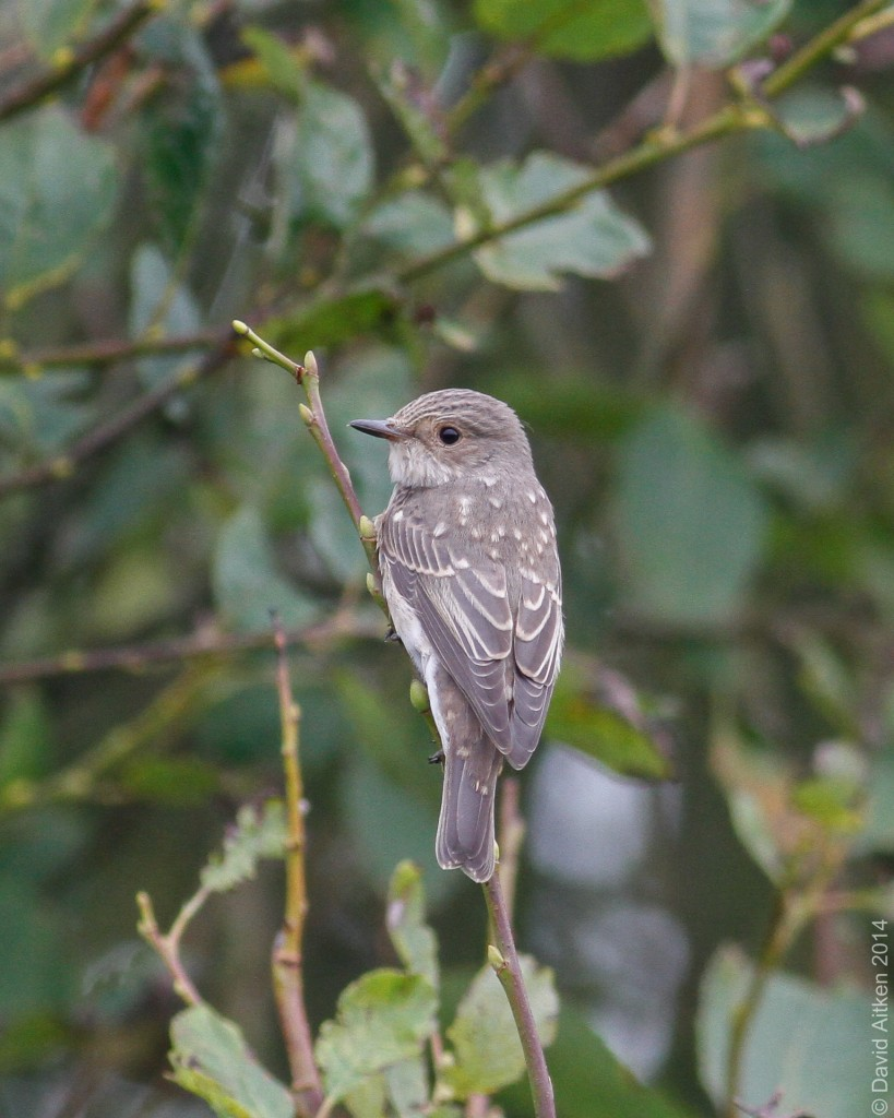 Spotted Flycatcher, Bempton, Dave Aitken