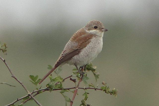 juvenile Red-backed Shrike, Bempton. Tony Dixon