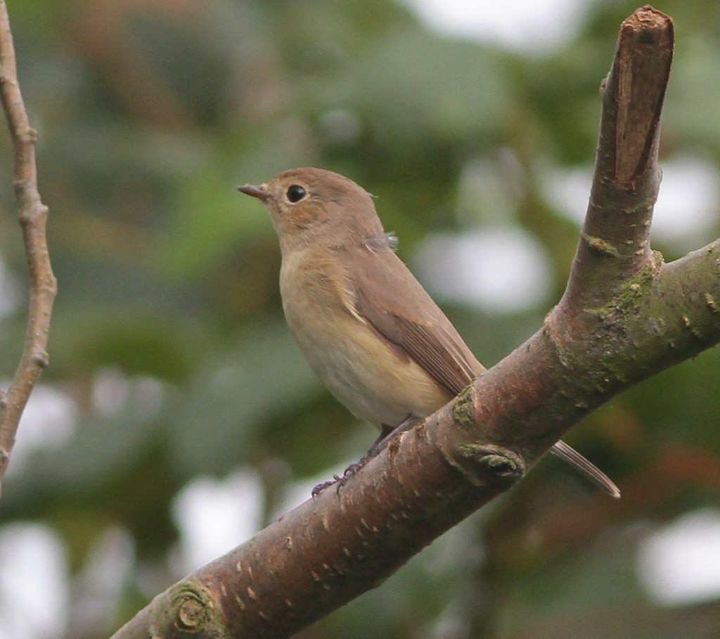 Red-breasted Flycatcher, Outer Head, Martin Garner