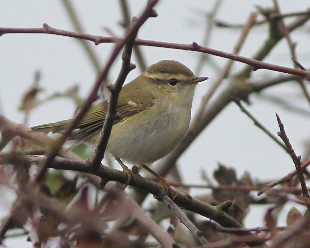 Yellow-browed Warbler, near North Landing. Martin Garner