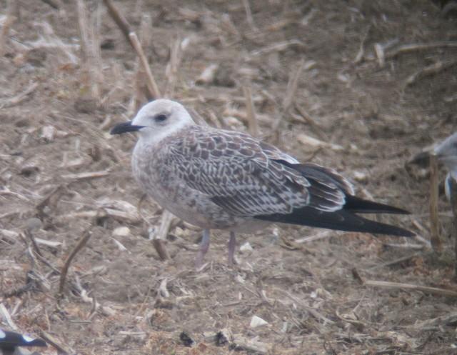 candidate Baltic Gull, Outer Head, Martin Garner