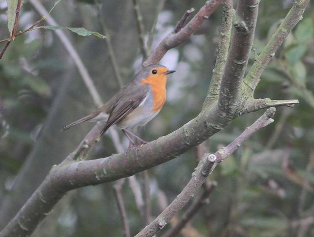 Continental Robin near North Landing. Martin Garner