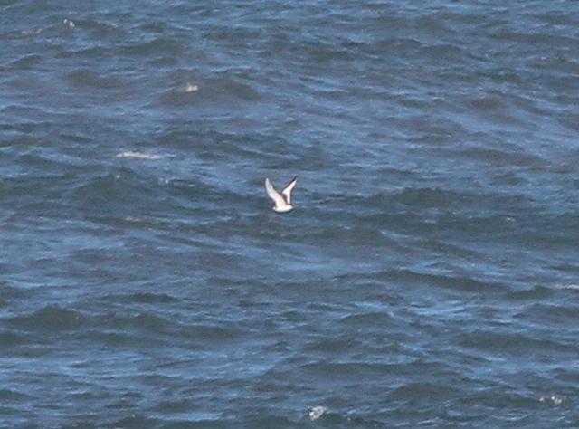 juvenile Sabine's Gull. Martin Garner