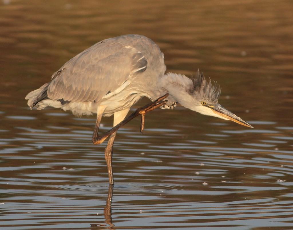 Grey Heron, Thornwick Pool, Martin Garner