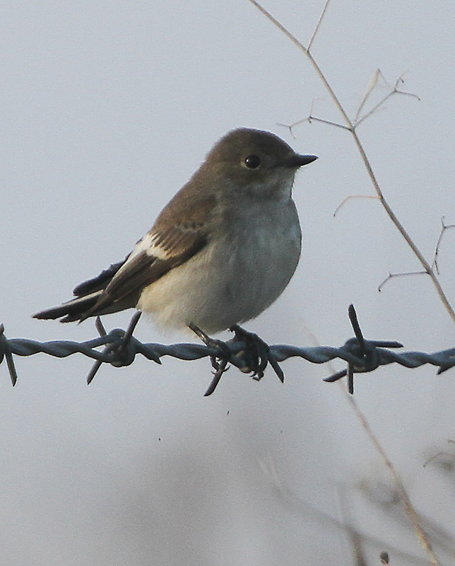 Pied Flycatcher at Buckton, Paul Reed