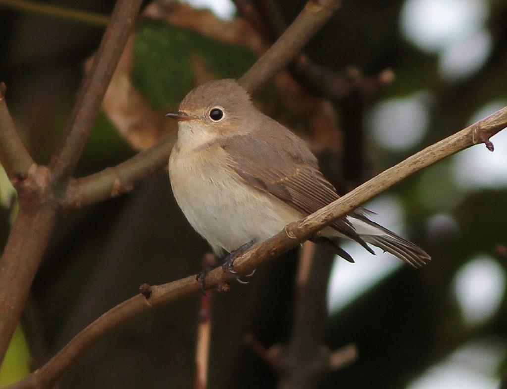 Red-breasted Flycatcher, Walled Garden, Flamborough