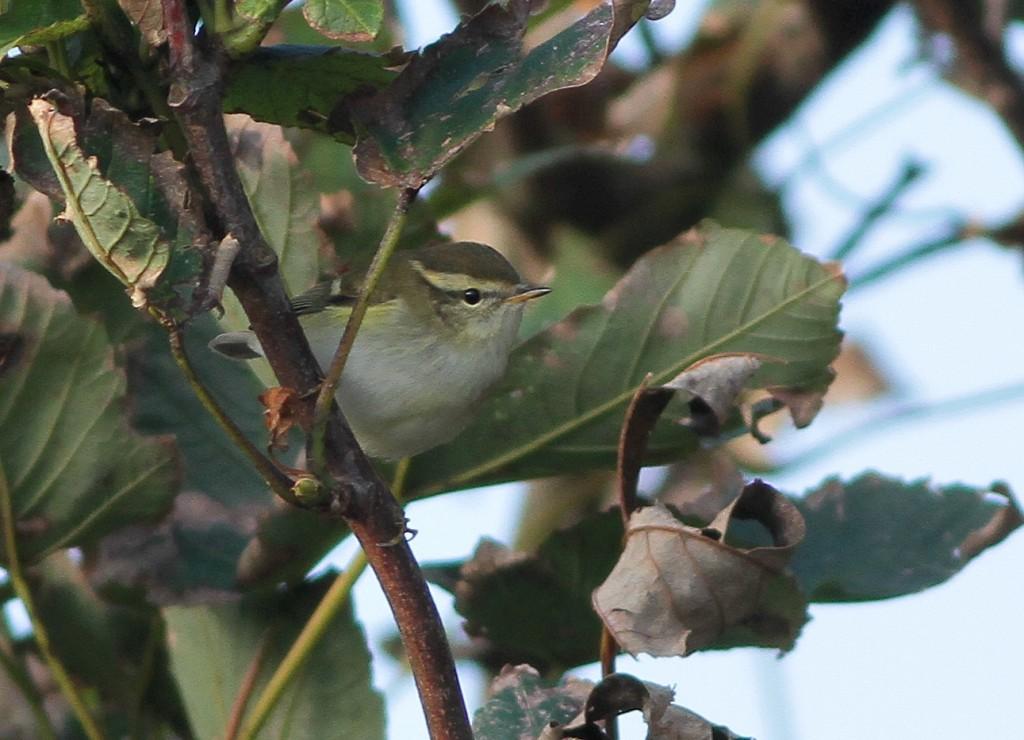 Yellow-browed Warbler, Outer Head, Martin Garner