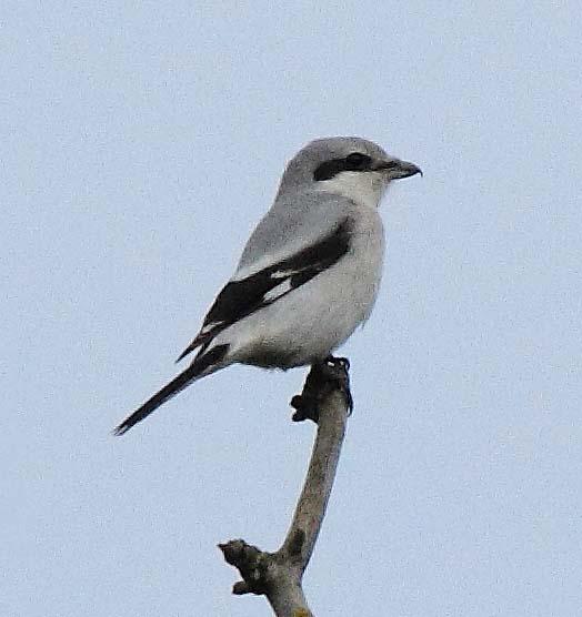 Great-grey Shrike by Alan Walkington