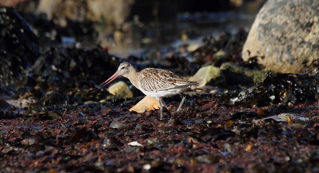 Bar-tailed Godwit at South Landing, by Alan Walkington