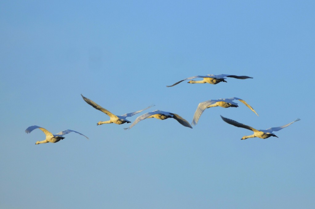 Whooper Swans 003edited