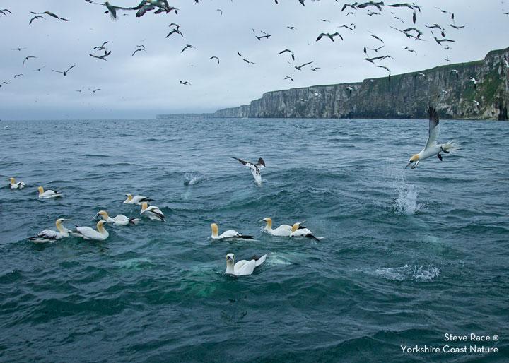 Diving Gannets off Bempton RSPB, Steve Race