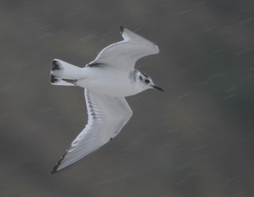 juv Little gull