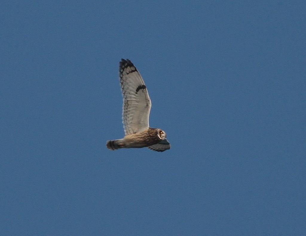 Short-eared Owl. Martin Garner