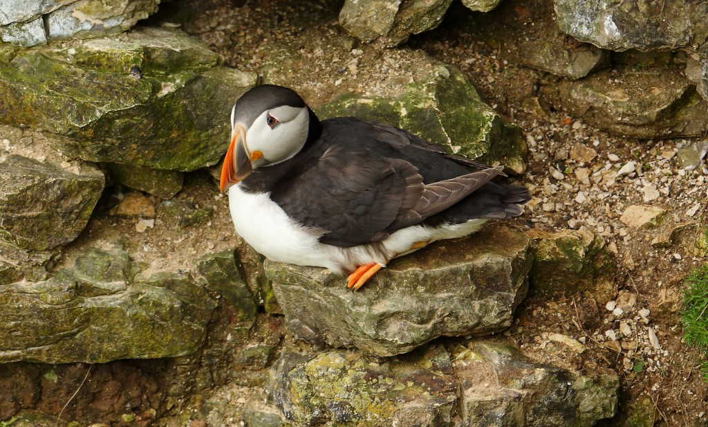 Puffin, Outer Head, by Alan Walkington