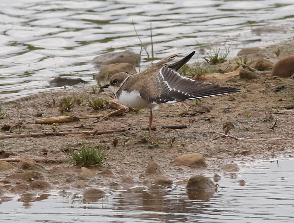 juvenile Little Ringed Plover, Thornwick Pools, by Craig Thomas