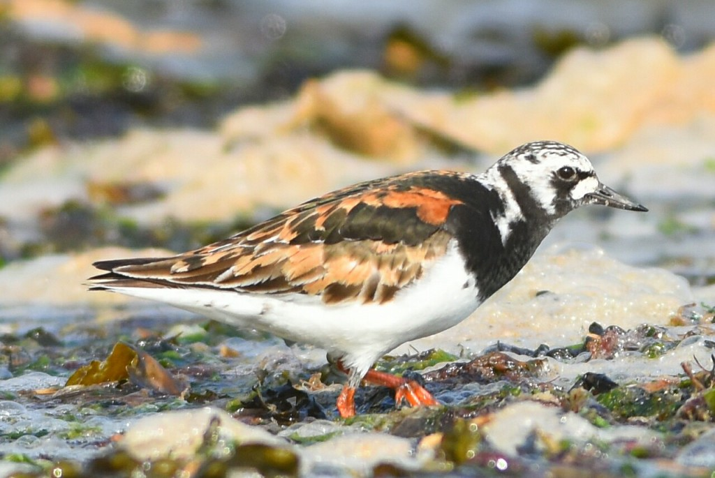 Turnstone, South Landing, by Andy Hood