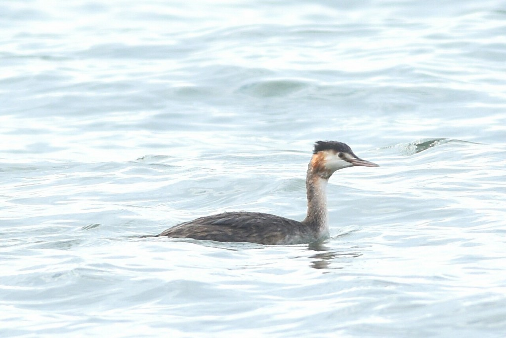 Great Crested Grebe, South Dykes, by Andy Hood