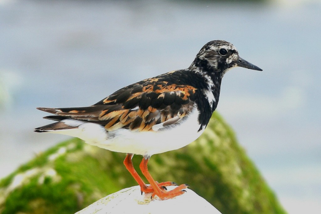 Turnstone, South Dykes, by Andy Hood